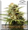 Dutch Passion Auto White Widow Female 3 Seeds